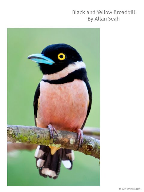 Photograph of a black and yellow broadbill, by Allan Seah
