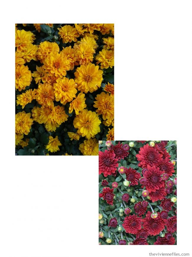 1. Chrysanthemum colors
